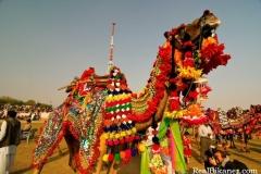 camel_festival_4